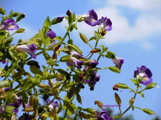 Purple_L2H