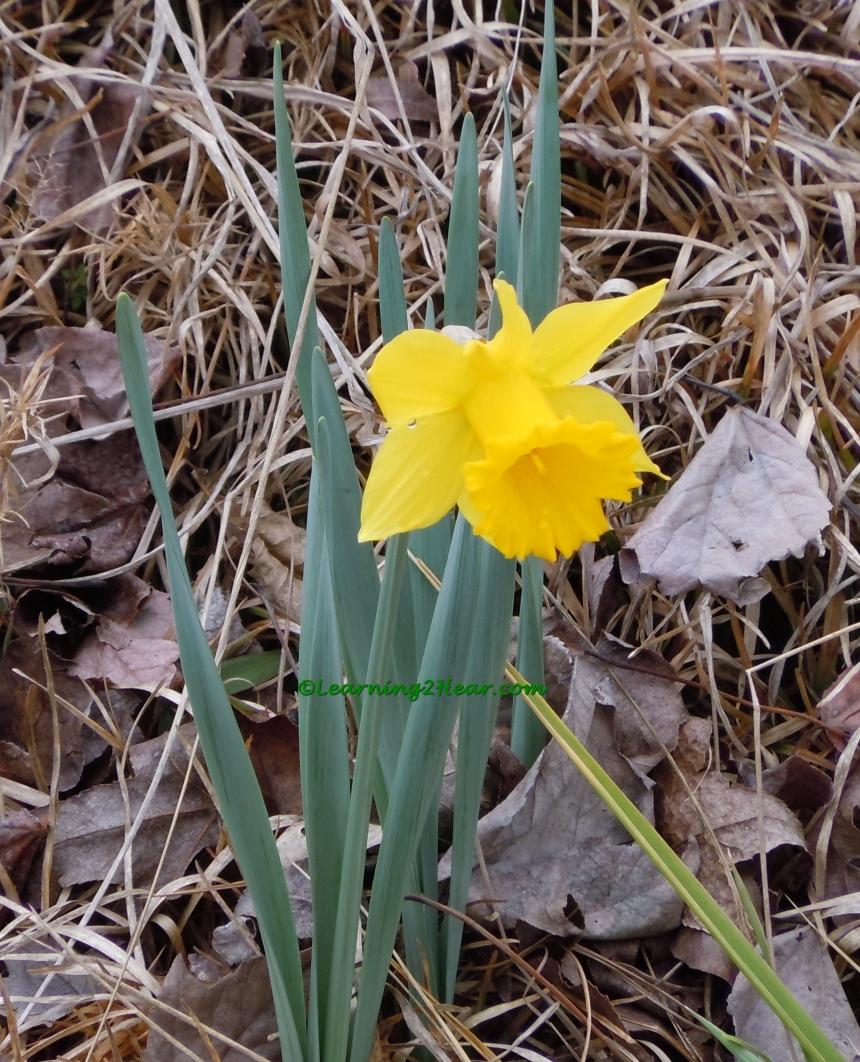 Blooming Daffodil